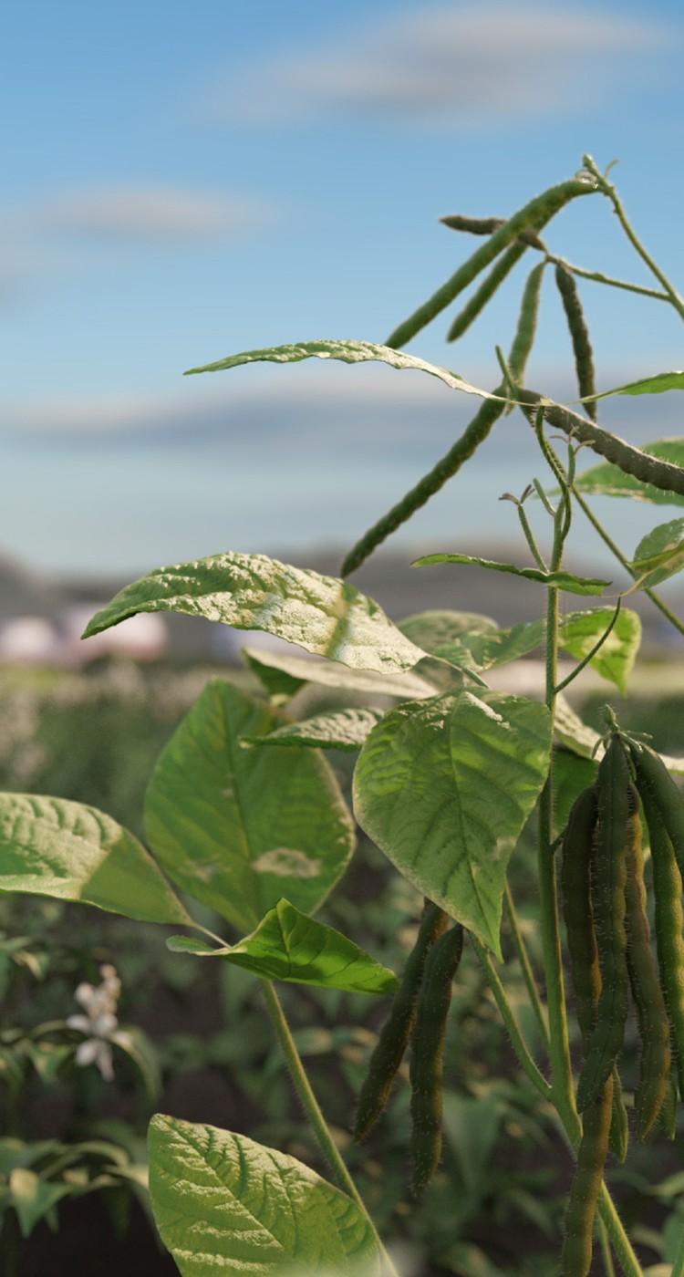 mung beans in a field
